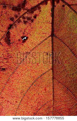 Light Through A Red Grape Ivy Autumn Leaf Veins