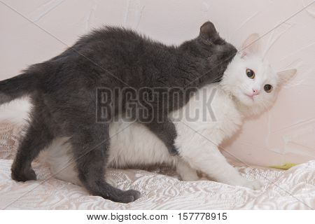 Little Gray Kitten Playing With A White Cat.