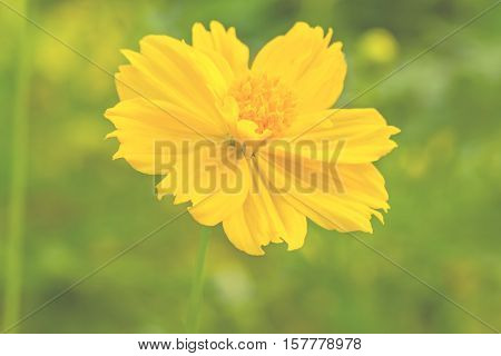 Yellow Cosmos flower(Sulfur Cosmos) on blurry light background