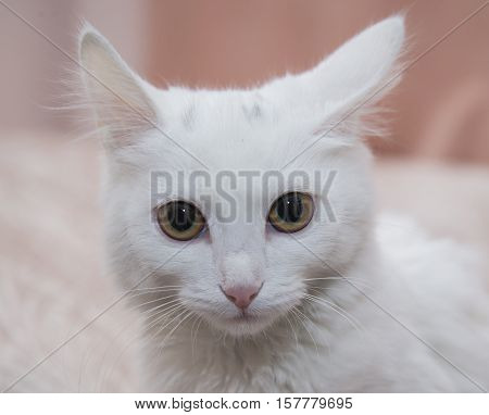 Beautiful White Cat Sitting On The Bed.
