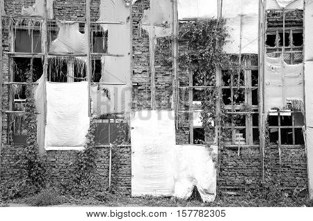 Wall of old abandoned building with the broken windows and wild vine. Black and white photography