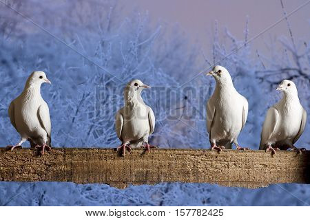 postal pigeons sitting on the fence winter evening, racing pigeons, mail delivery, excellent picture, frost, cold