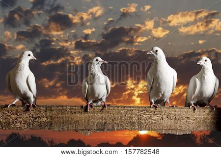 postal pigeons sitting on the fence on the background of beautiful sunrise, racing pigeons, mail delivery, excellent picture,