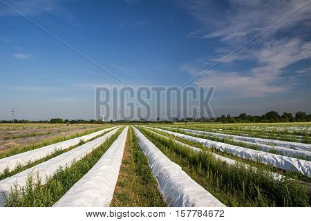 Asparagus / Field of asparagus / In the food consumed young shoots