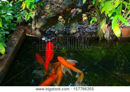 Several koi carp fish in the water in pond closeup, symbol of prosperity and money frog