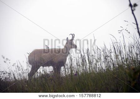 French Alps Chamois In Fog