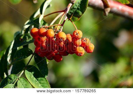 Rowan berries on a blurred background.