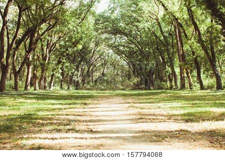 Fairytale forest landscape - old acaciatrees stretch to the sun, they formed an arch
