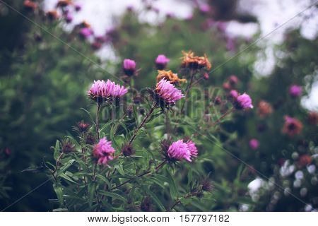 Aster dumosus. Autumn perennial Aster with pink flowers.