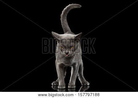 Blue Burmese Kitten, standing at front view, Looking clumsy and show tongue, tail like question sign, on Isolated black background with reflection