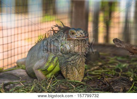 Close-up of Green Iguana in cage (Iguana iguana)