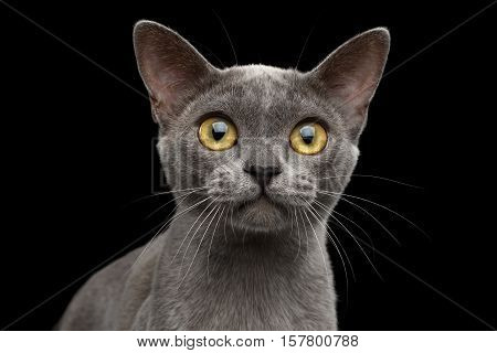 Close-up portrait of Blue Burmese Kitten Curious Looking in camera, on Isolated black background