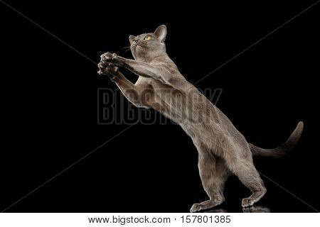 Blue Burmese Kitten, stretched up, on Isolated black background with reflection, jumping
