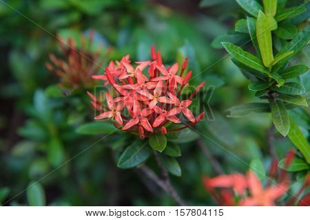 King Ixora blooming (Ixora chinensis). Rubiaceae flower