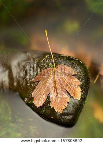 Fallen Broken Yellow Maple Leaf. Autumn Castaway On Wet Slipper Stone