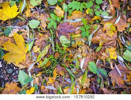 Carpet of leaves on the ground in an autumn day