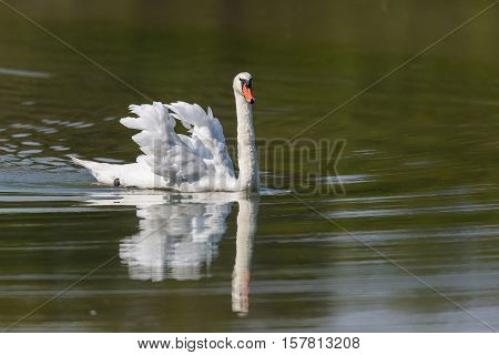 Mirrored mute swan (Cygnus olor) swimming in green water
