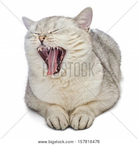 British Shorthair cat is yawning. Gray cat is lying and isolated on white background.
