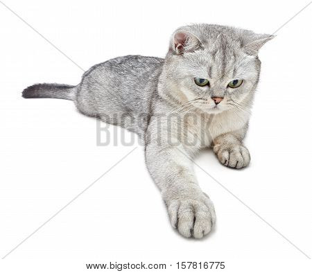 British Shorthair cat is playing on a white background. Wide angle.