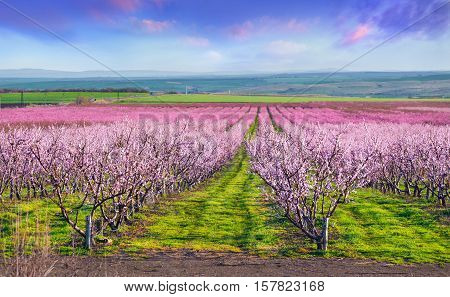 Flowering Peach Orchards Near Istanbul. Beautiful Outdoor Scenery In Turkey, Europe. Colorful Sunris