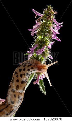 Slug Climbing On Flowers
