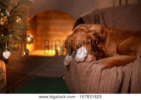 Happy New Year Christmas Dog Nova Scotia Duck Tolling Retriever holidays and celebration pet in the room the Christmas tree