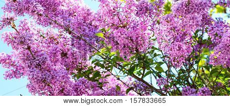 spring background with branch of syringa vulgaris lilac flower blossom at spring time in the garden