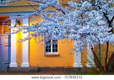 Night Scene Of Blooming Sakura Illuminated By Lamp From The Town Hall In Kassel