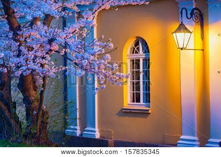 Night scene of blooming sakura illuminated by lamp from the Town Hall in Kassel German Europe.