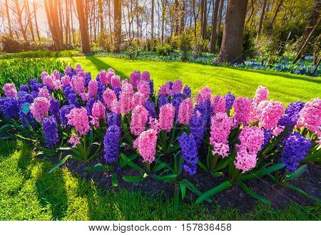Marvellous Hyacinth Flowers In The Keukenhof Park