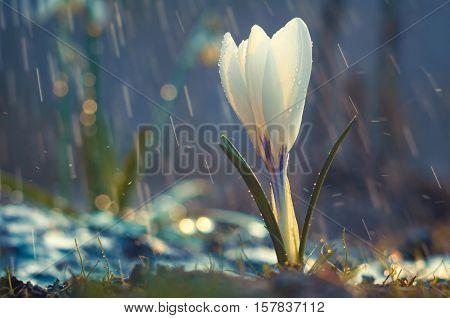 Single Flower Of White Crocus In The Spring Rain