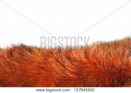 Red Fox fur on white background. A piece of red fur on white background. Fringe of red fur.