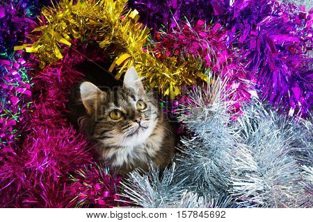 Photo by beautiful cat in the colored tinsel.