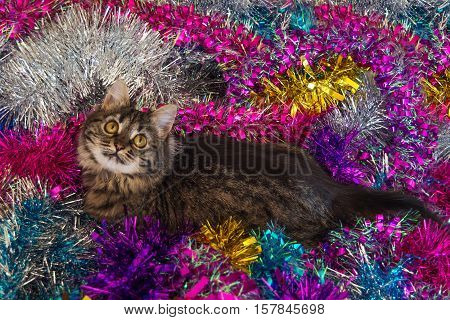 Photo by pretty cat on the colored christmas tinsel.