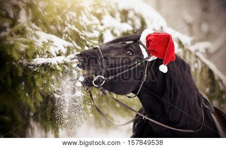 Black sports horse horse in a red Santa Claus hat eats fir-tree branches