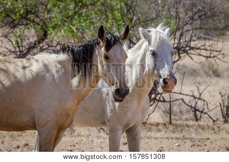 Two wild horses roaming through the Namib Desert of Angola on a hot and sunny day.