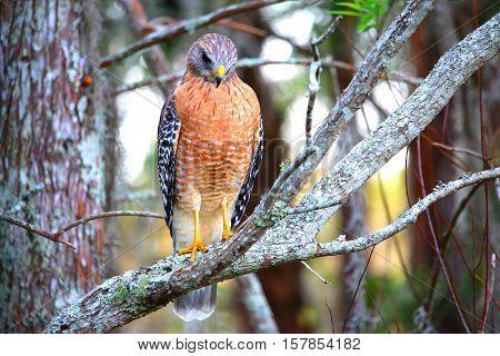 Hawk watching the scene below the tree limb