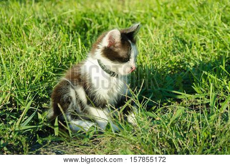 kitten with black and white spots sitting in the garden on the green grass