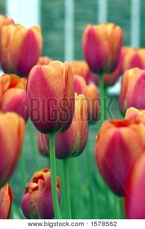 Bsp Tulip