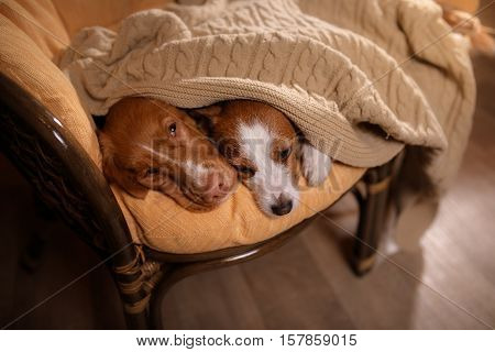 Dog Jack Russell Terrier and Dog Nova Scotia Duck Tolling Retriever. dog's nose under the blanket dog sleeping and hid