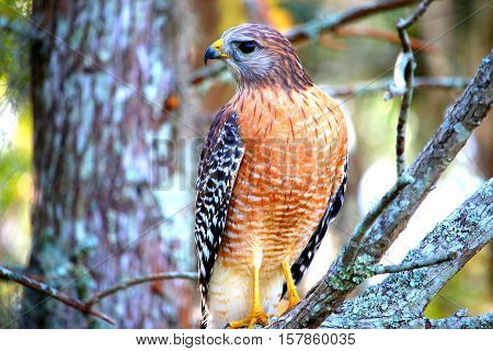 Hawk looking to the right side of the tree