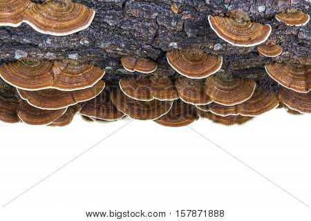 Macro Wet Brown Bracket Fungus On Wood Isolated On White. Saved With Clipping Path