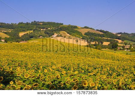 Summer rural landscape with sunflowers in Umbria
