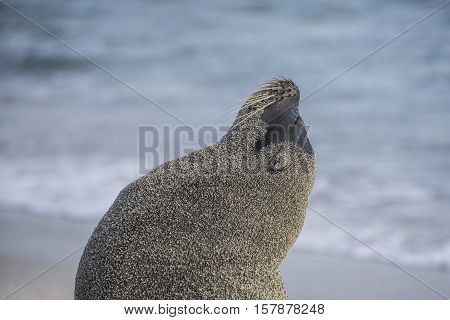 Galápagos sea lion resting in an unusual pose after getting water and sand on its body