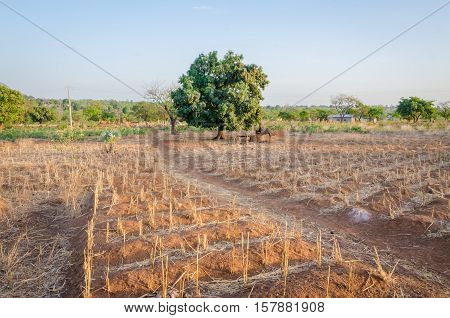 Traditional crop growing on a small rural farm in the land of the Tata Somba tribe in Benin, Africa.