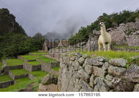 Alpaca ( lama ) in Machu Picchu Peru UNESCO World Heritage Site. One of the New Seven Wonders of the World