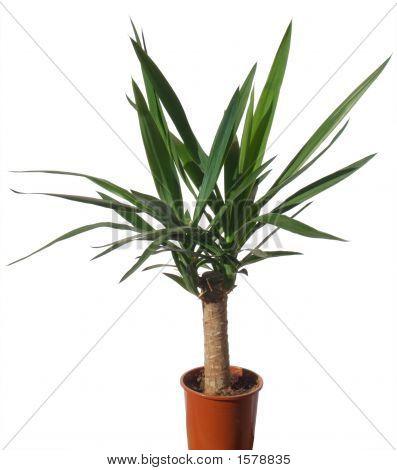 House Palm (Yucca)