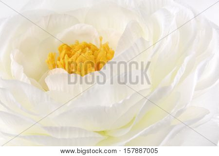 close up of the Rununculus Buttercup white flower macro