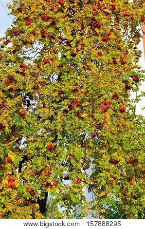 Ripe berries on the rowan tree on autumn