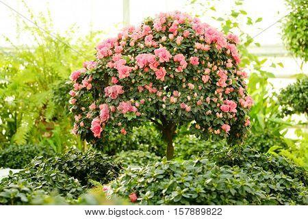 Azaleas on a miniature tree on blurred background